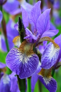 Iris by Tina Phillips freedigitalphotos.net