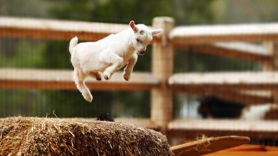 gamboling goat